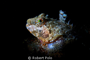 Headshot of a sculpin. D200, 105mm, snoot by Robert Polo 